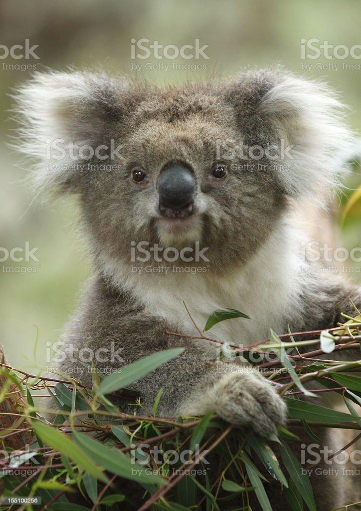Cute fluffy Koala bear eating leaves stock photo