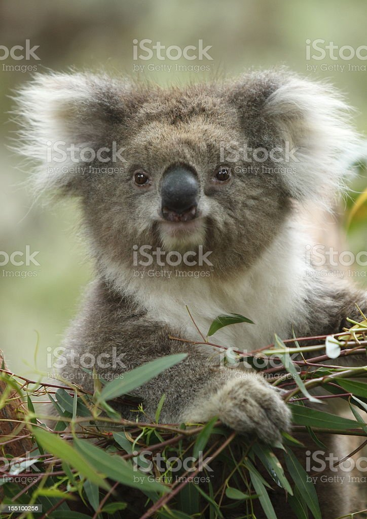 Cute fluffy Koala bear eating leaves stock photo