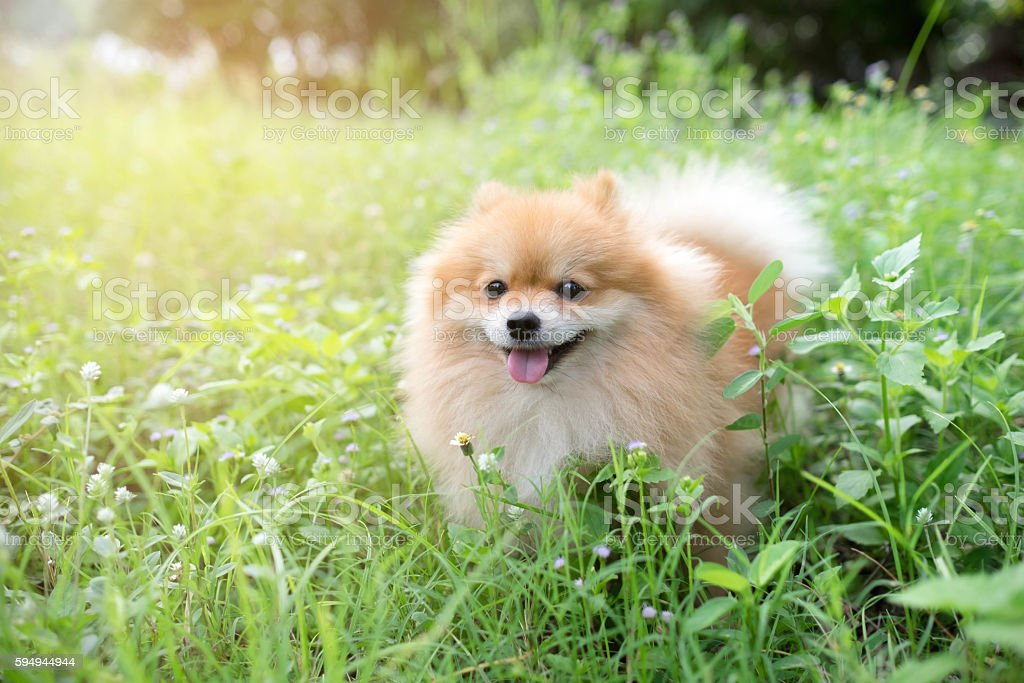 cute fluffy Pomeranian dog sitting in a spring park stock photo