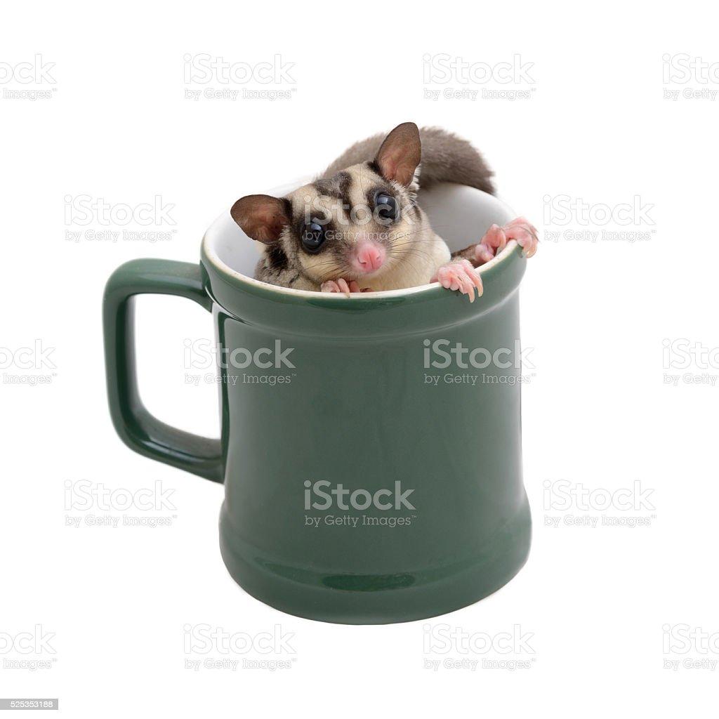 Cute flying squirrel in green coffee mug. stock photo