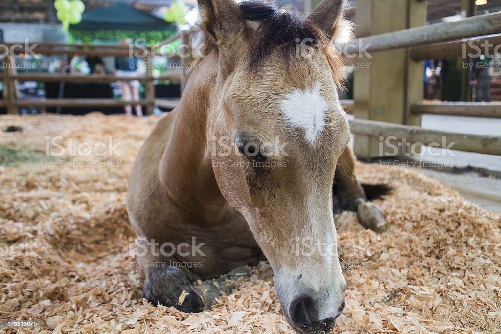 cute foal in enclosure-asleep stock photo