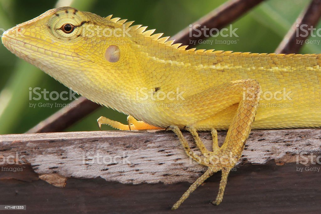Cute Forest Chameleon royalty-free stock photo