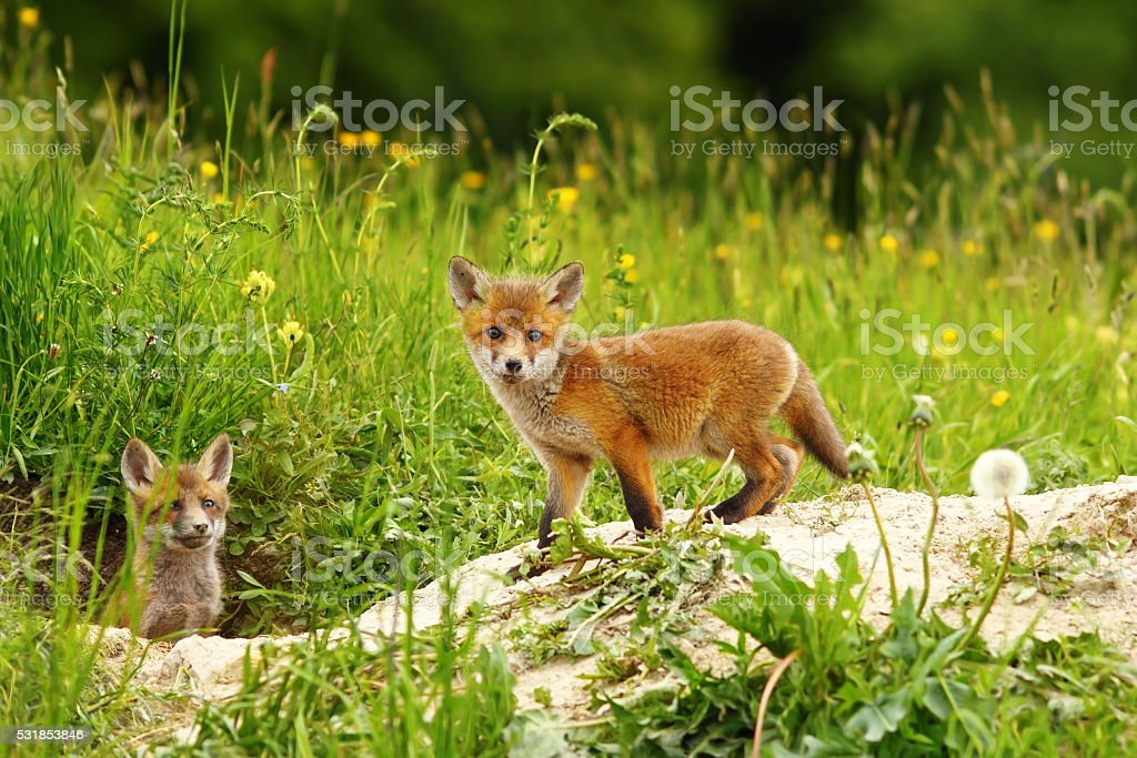 cute fox cub stock photo