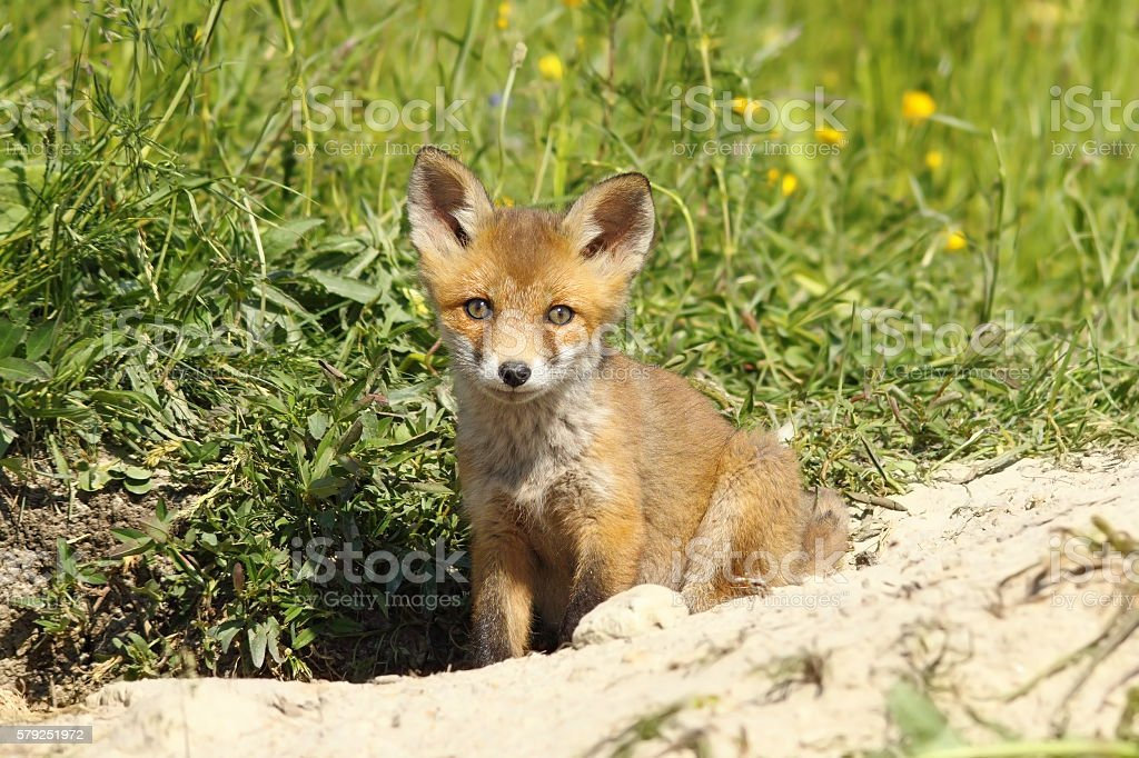 cute fox puppy looking at the camera stock photo