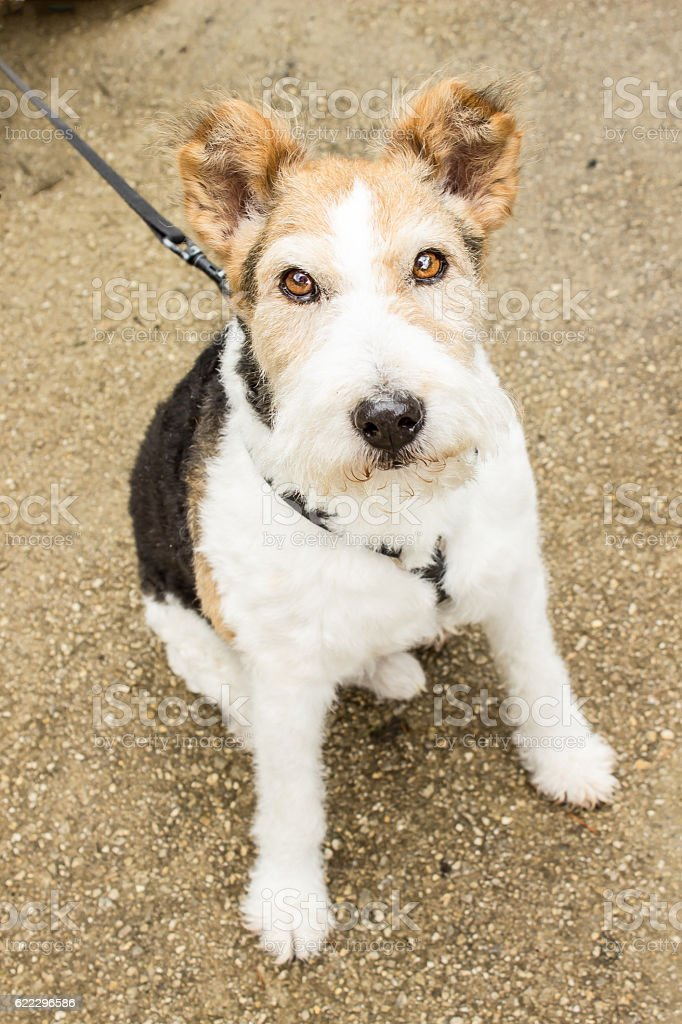 Cute fox terrier. royalty-free stock photo