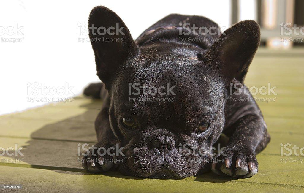 cute french bulldog stock photo