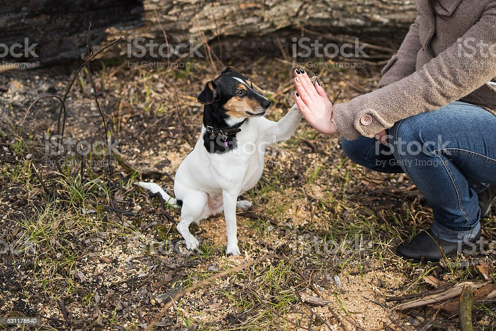 Cute funny parson russel terrier dog touches hand of woman stock photo