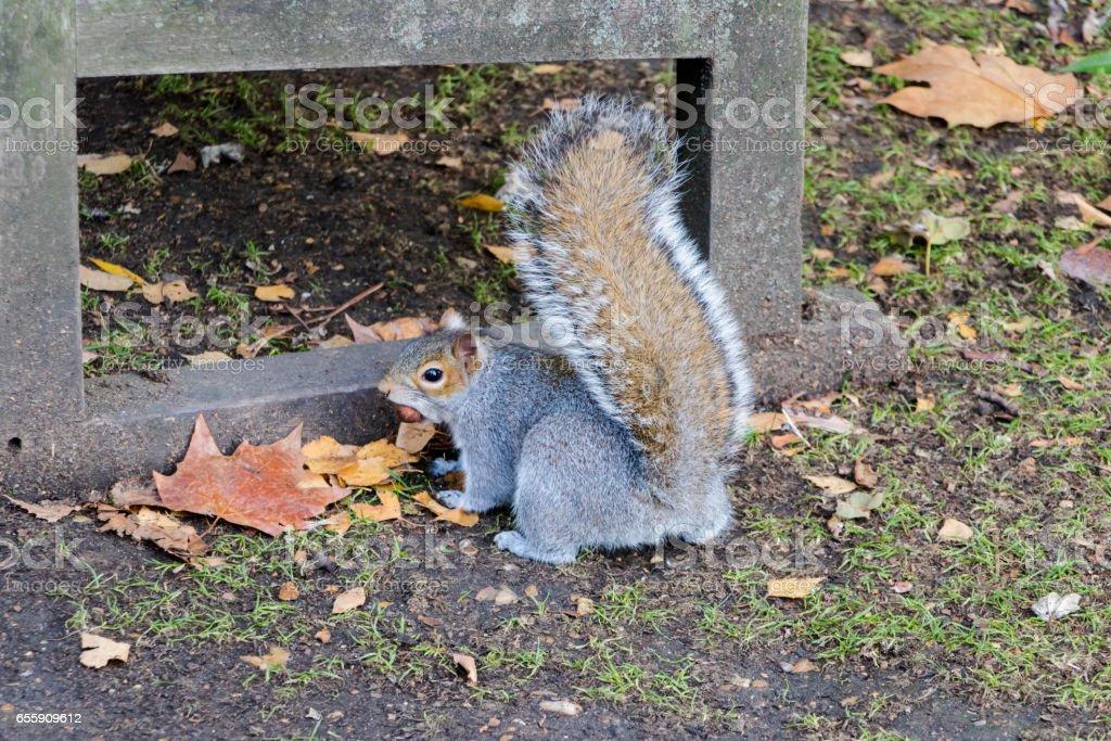 Cute fur grey squirrel stock photo