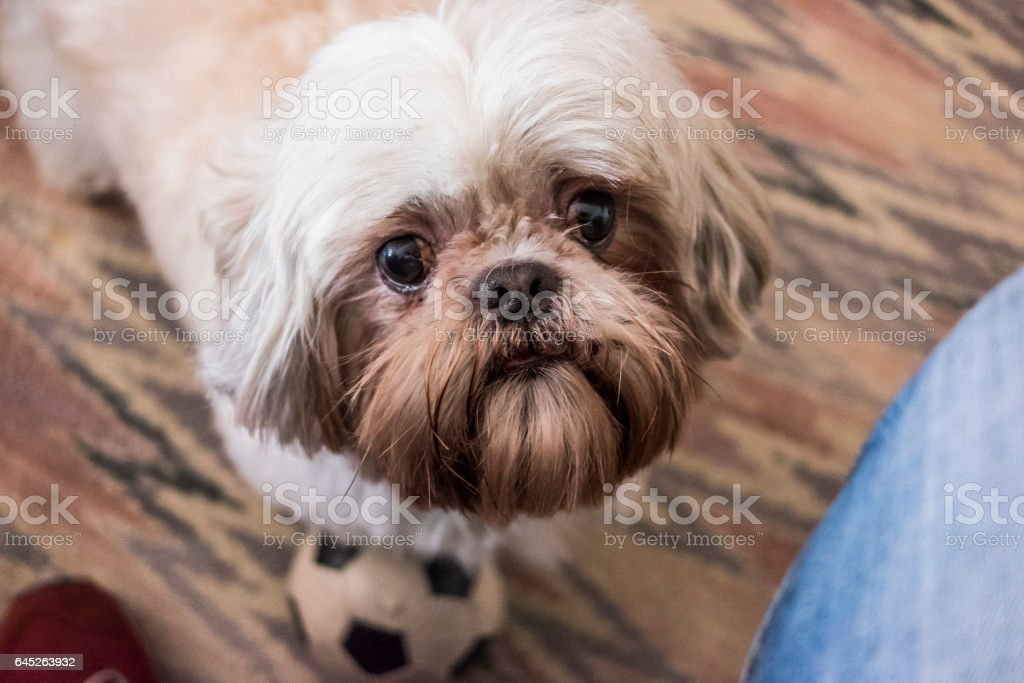 White cute furry puppy playing with a ball on a face portrait still