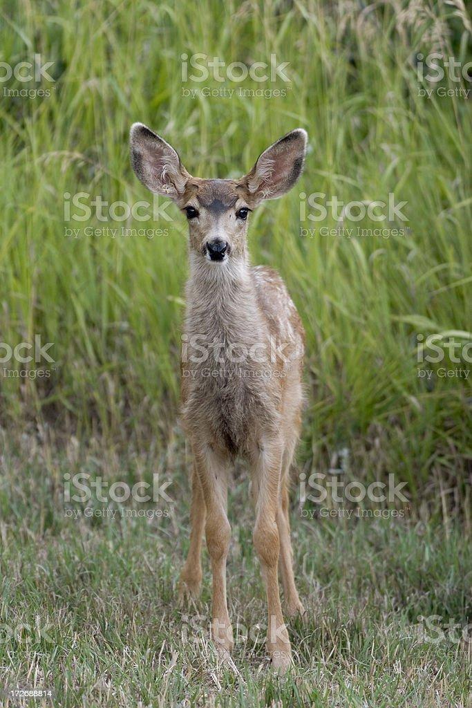 Cute fuzzy mule deer fawn in green grass Colorado stock photo