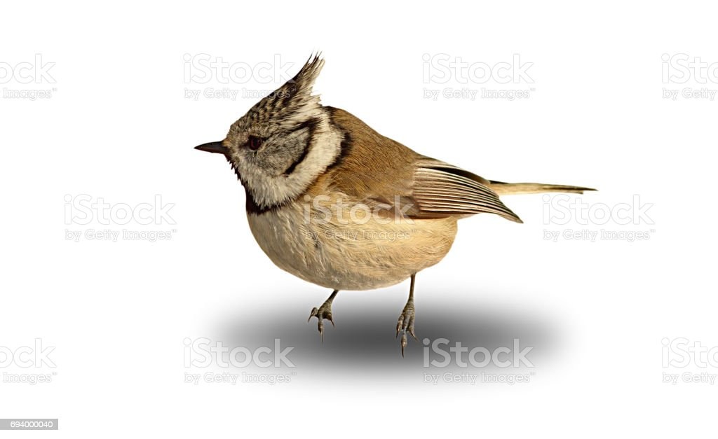 cute garden bird, crested tit over white with shadow stock photo