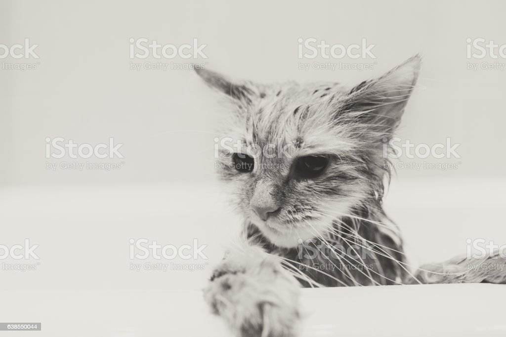 Cute ginger cat after a bath, funny little demon stock photo