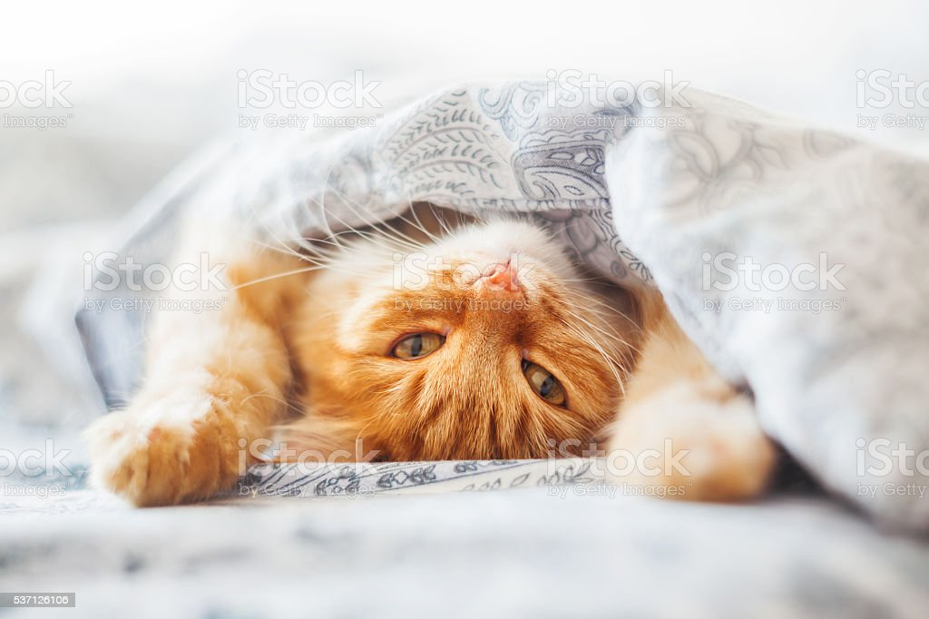 Cute ginger cat lying in bed under a blanket. Fluffy pet comfortably...