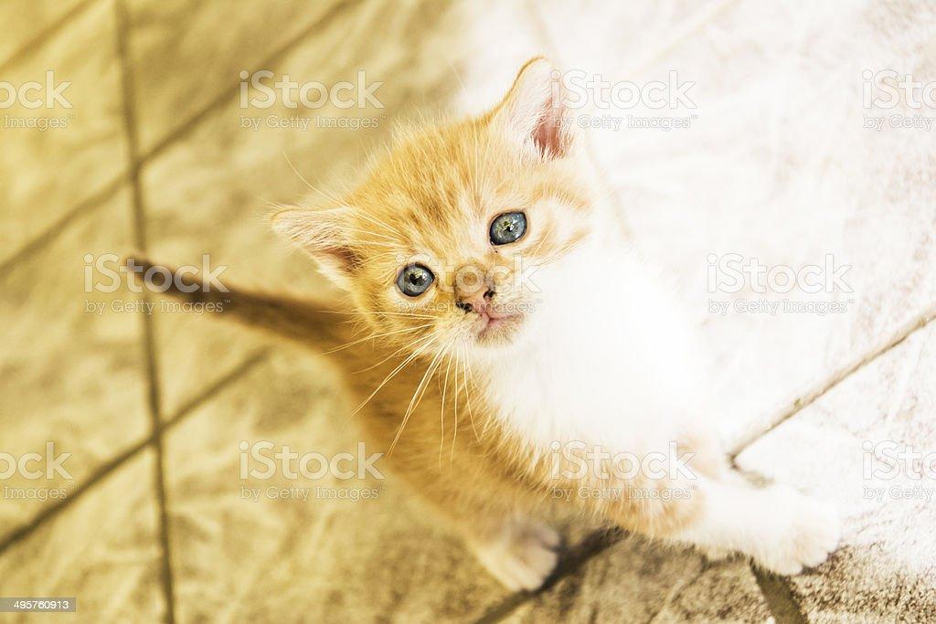 Cute golden kitten posing stock photo
