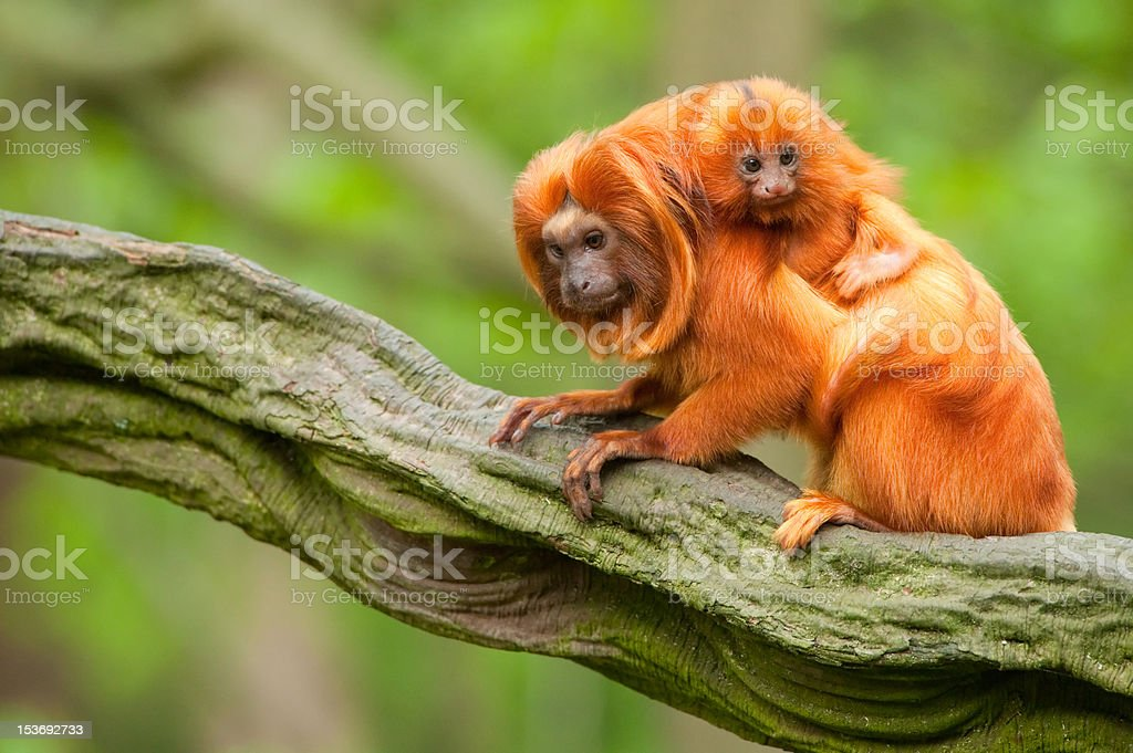 cute golden lion tamarin with baby stock photo