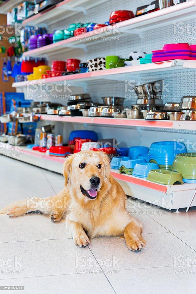 Cute Golden Retriever in pet store stock photo
