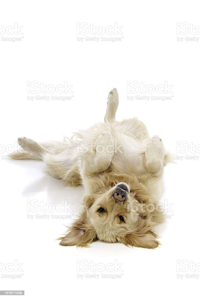 A cute golden retriever lying on its back stock photo