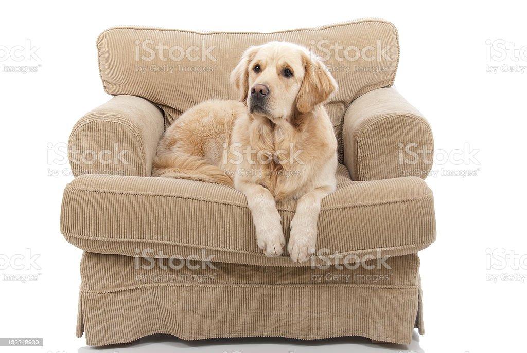 Cute Golden Retriever On Armchair royalty-free stock photo