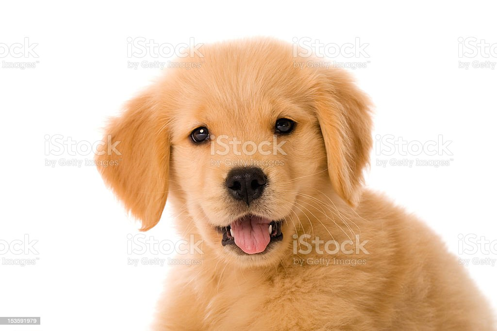 Cute Golden Retriever Puppy royalty-free stock photo