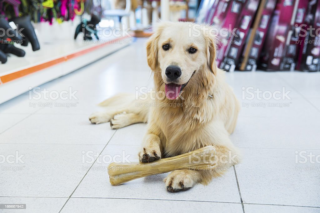 Cute golden retriever with big bone in pet store royalty-free stock photo