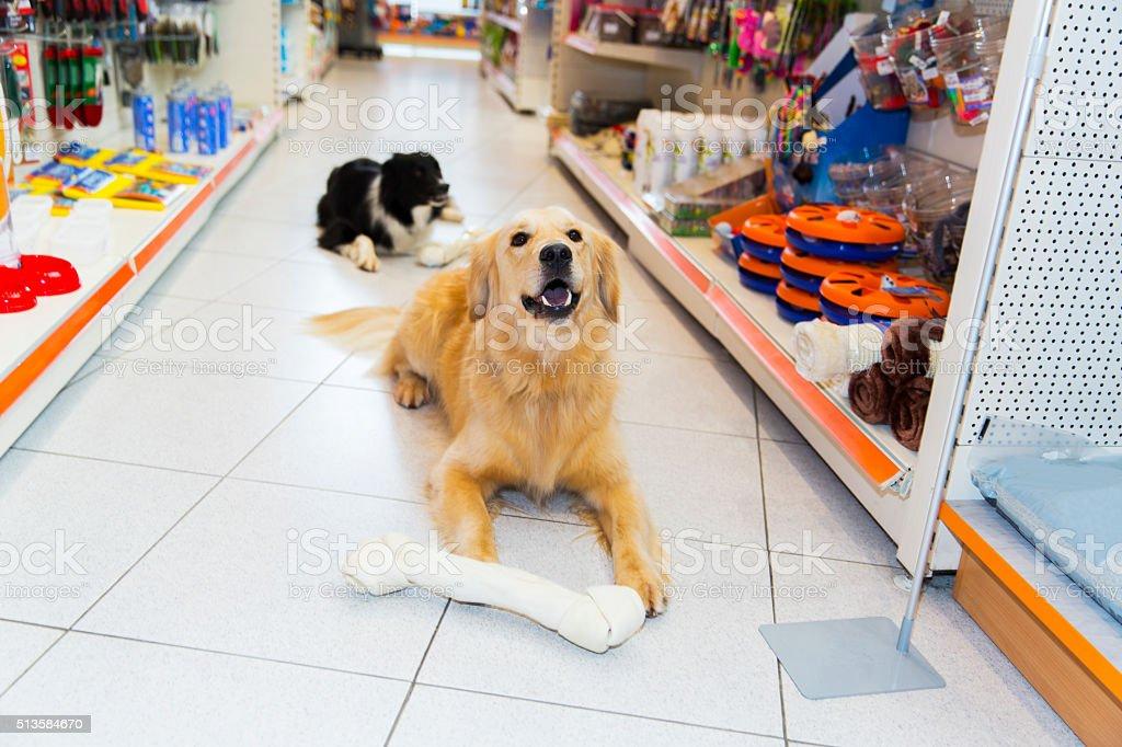 Cute Golden Retriever with big pet bone in pet store stock photo