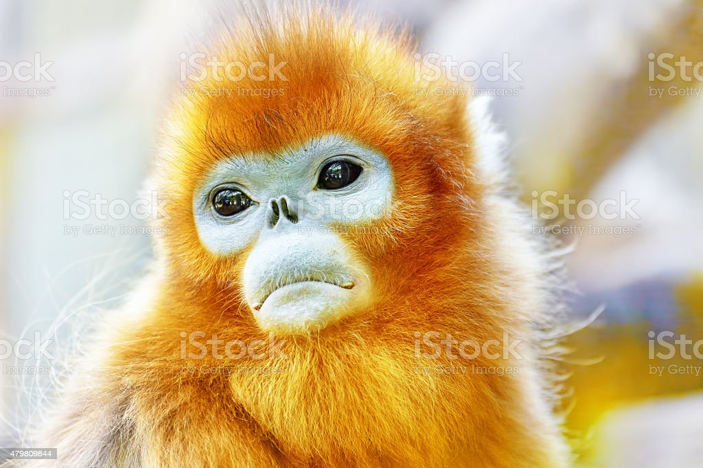 Cute golden Snub-Nosed Monkey stock photo