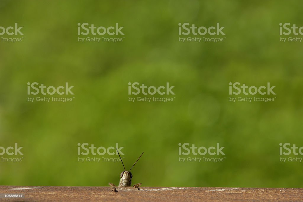 cute grasshopper looking royalty-free stock photo