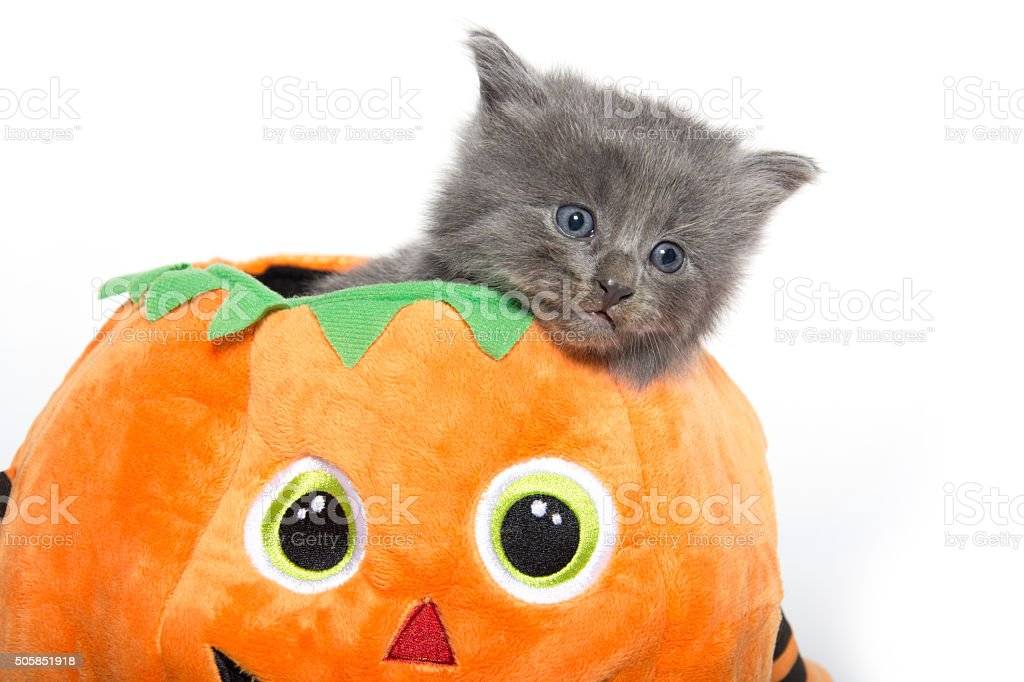 Cute gray kitten in pumpkin stock photo