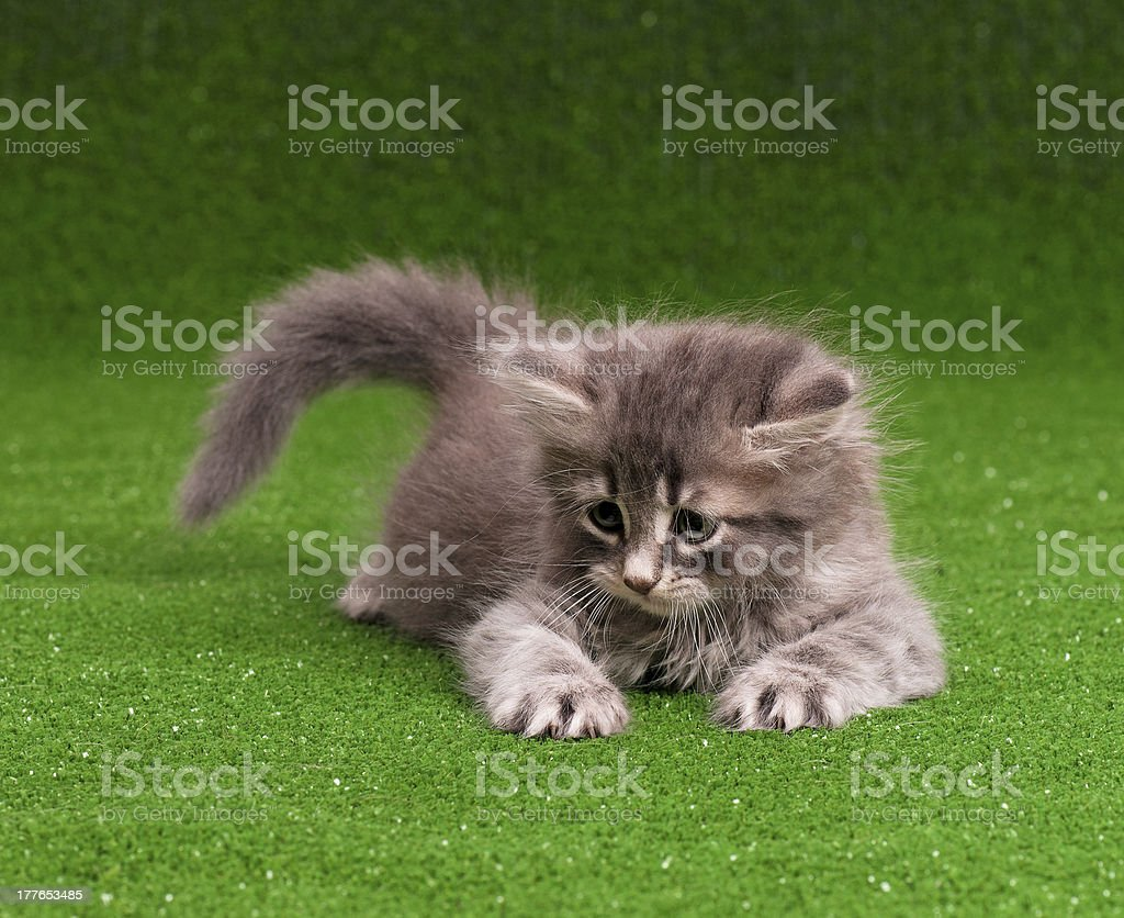 Cute gray kitten royalty-free stock photo