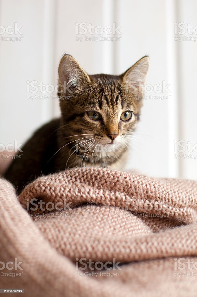 Cute gray striped kitten sitting in a cozy knitted blanket stock photo