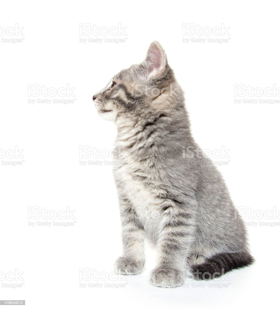 Cute gray tabby kitten on white stock photo