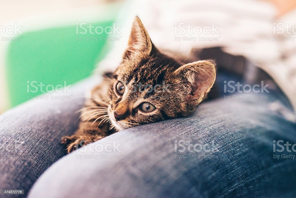 Cute Gray Tabby Kitten Resting on Top of Lap stock photo