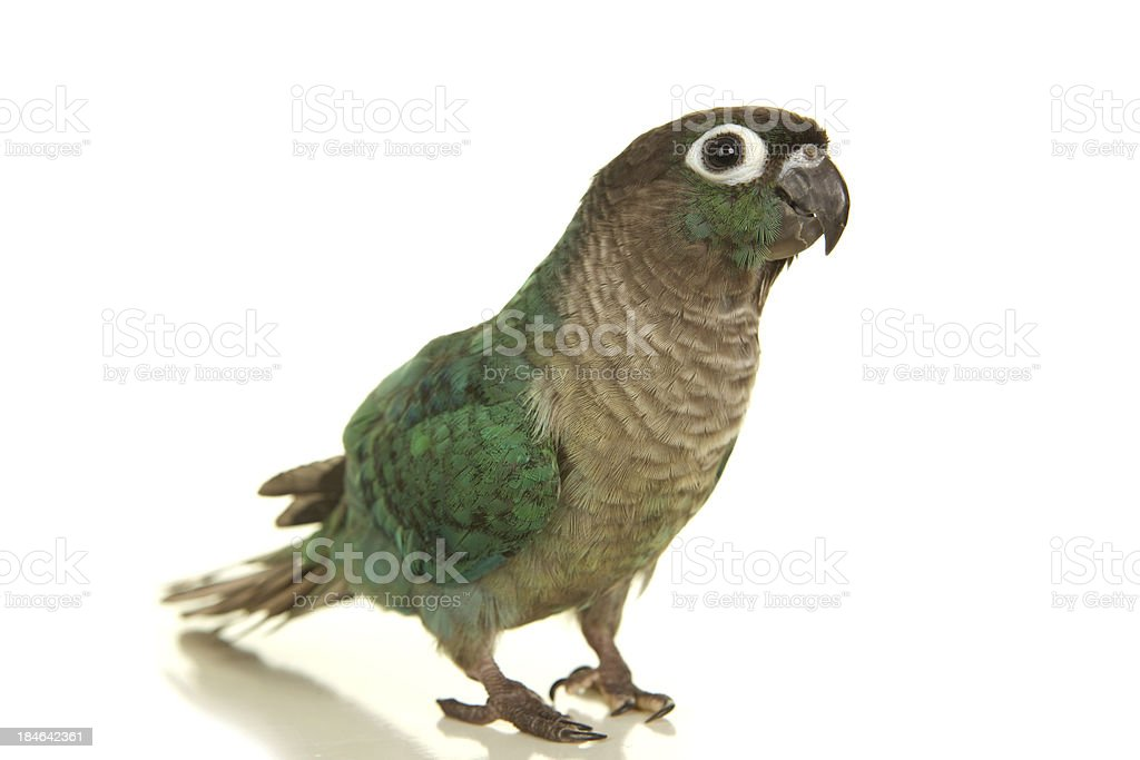 Cute Green Cheek Conure Bird with Turquoise Coloring stock photo