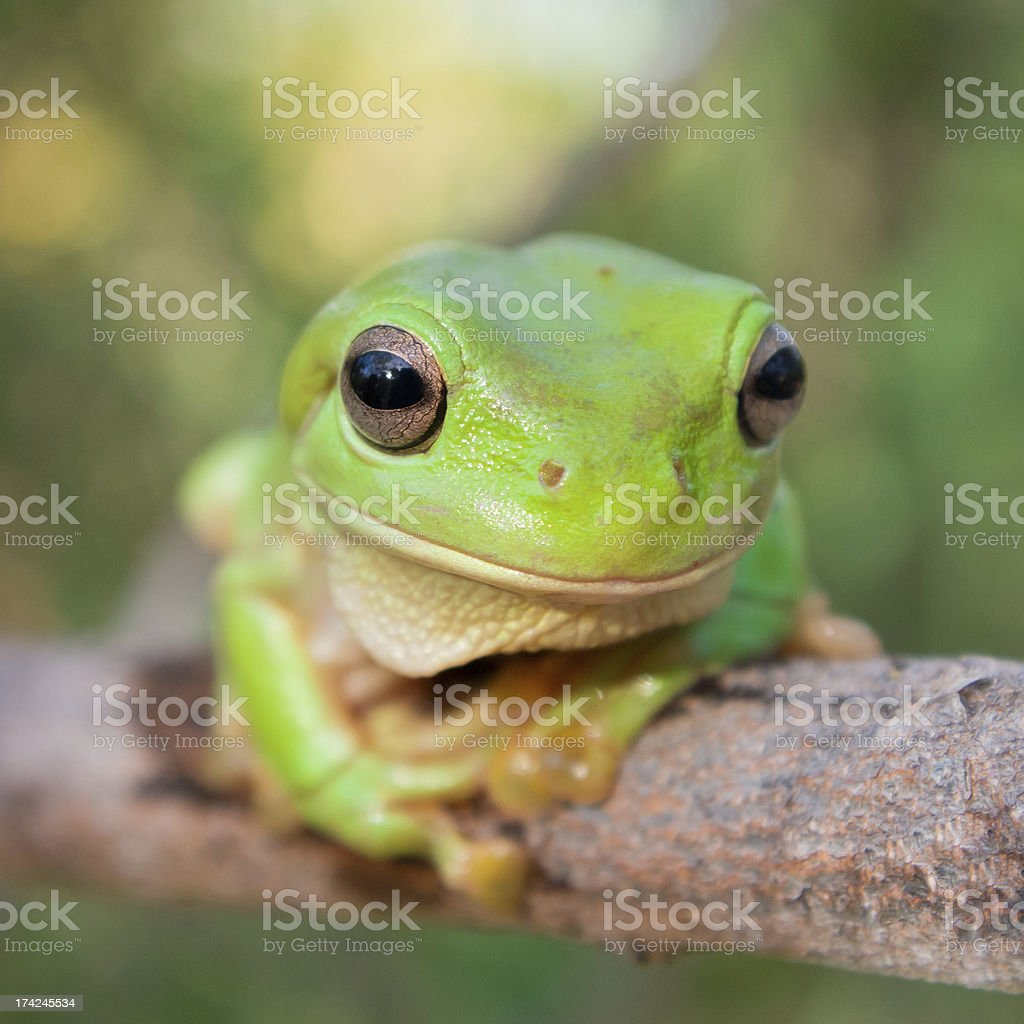 A cute green tree frog on a tree branch royalty-free stock photo