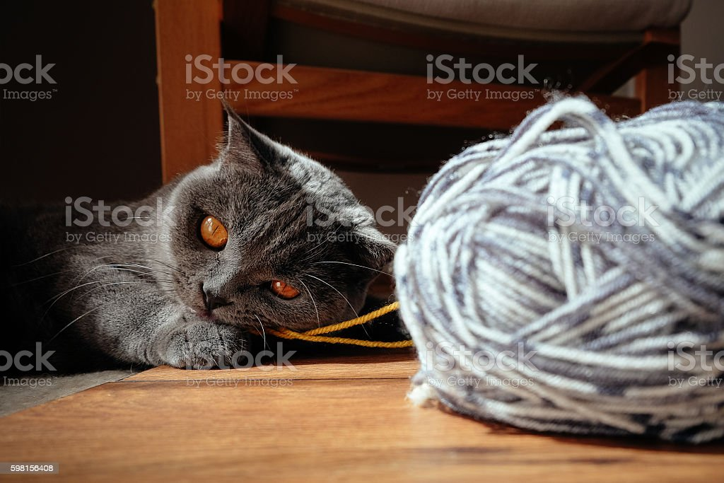 Cute grey Scottish Straight cat lying on the floor and chewing on a...