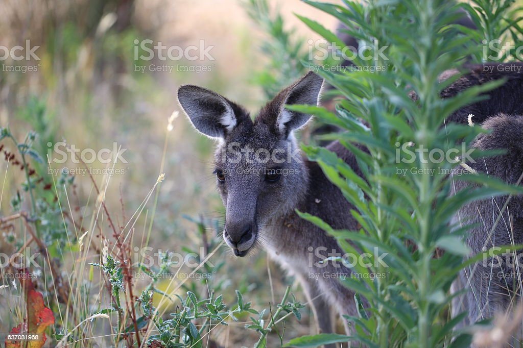 Cute grey kangaroo stock photo