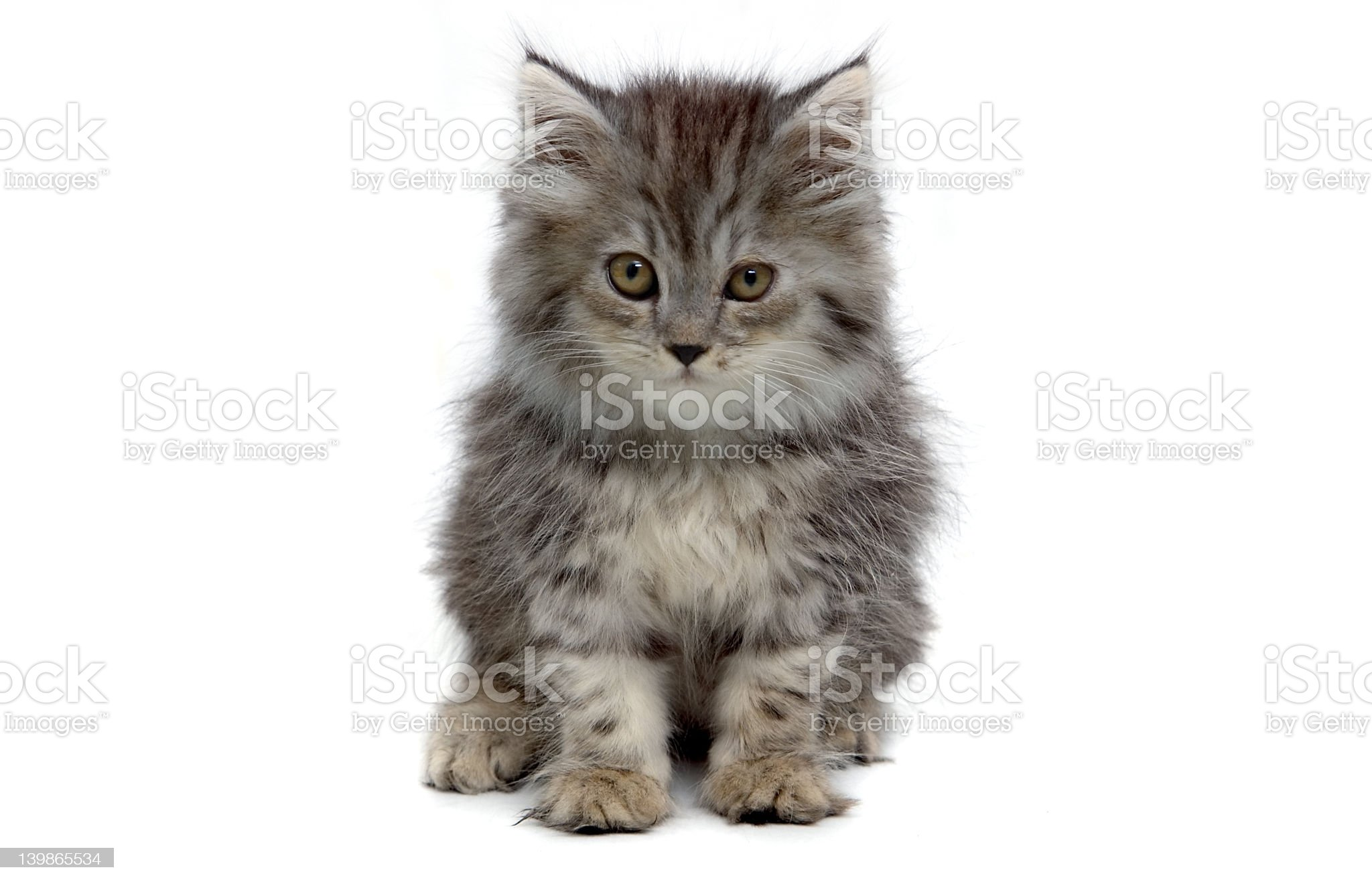 Cute grey kitten royalty-free stock photo
