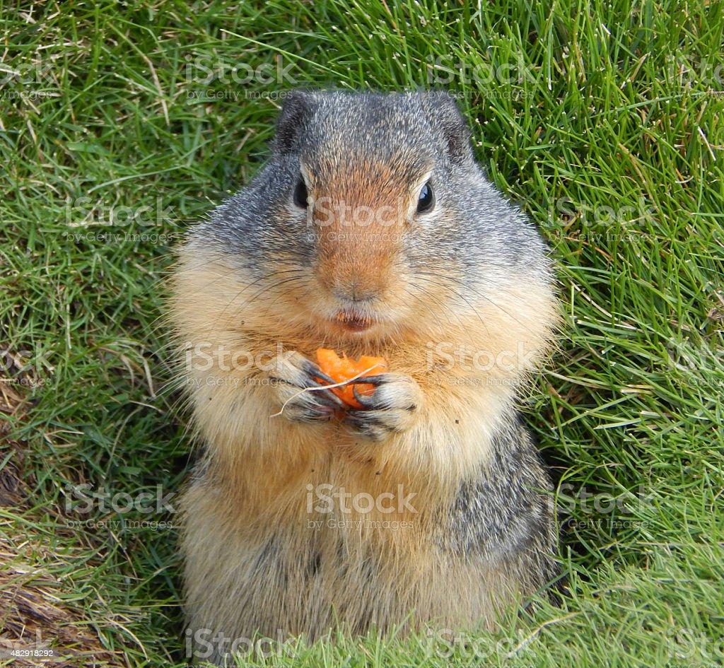 Cute Ground Squirrel stock photo
