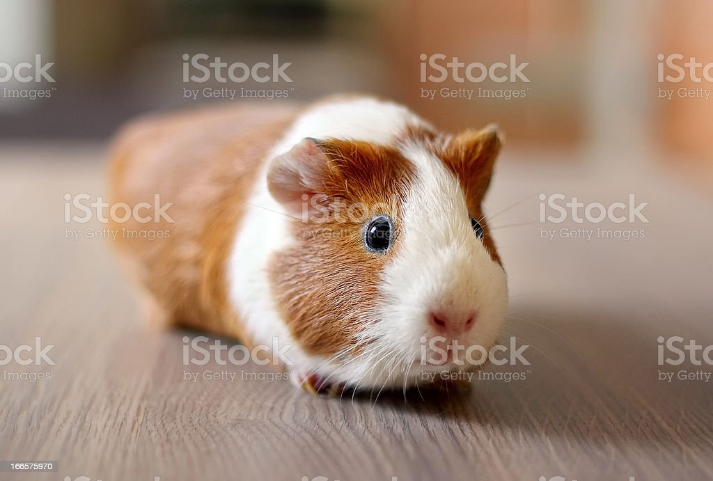 Cute Guinea pig royalty-free stock photo
