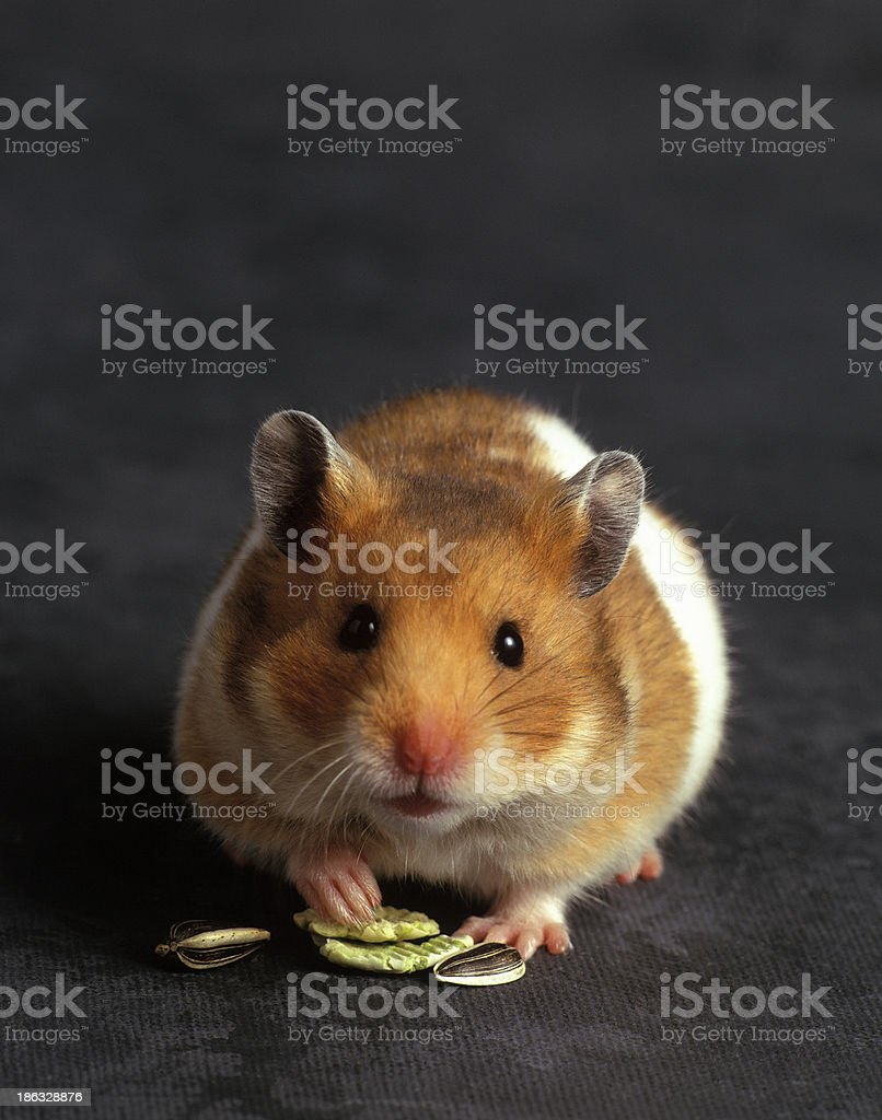 Cute Hamster stock photo