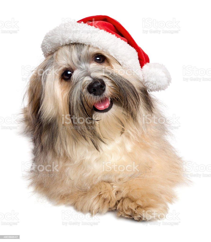Cute happy Christmas Havanese dog in a Santa hat stock photo