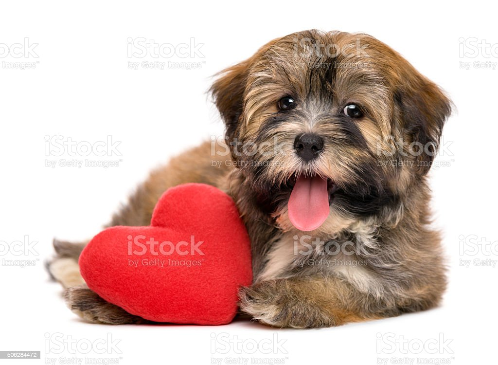 Cute happy valentine havanese puppy dog with a red heart stock photo