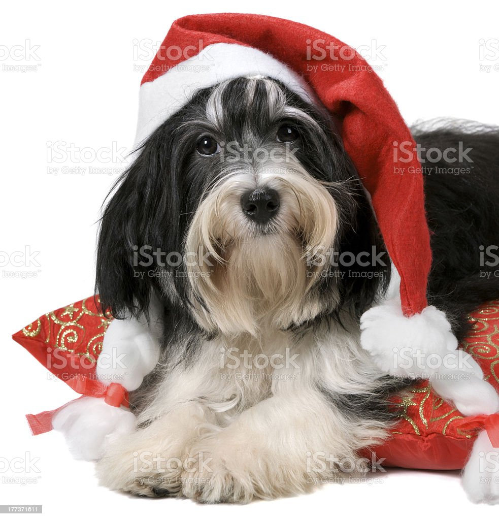 Cute havanese puppy dog with a Santa hat royalty-free stock photo