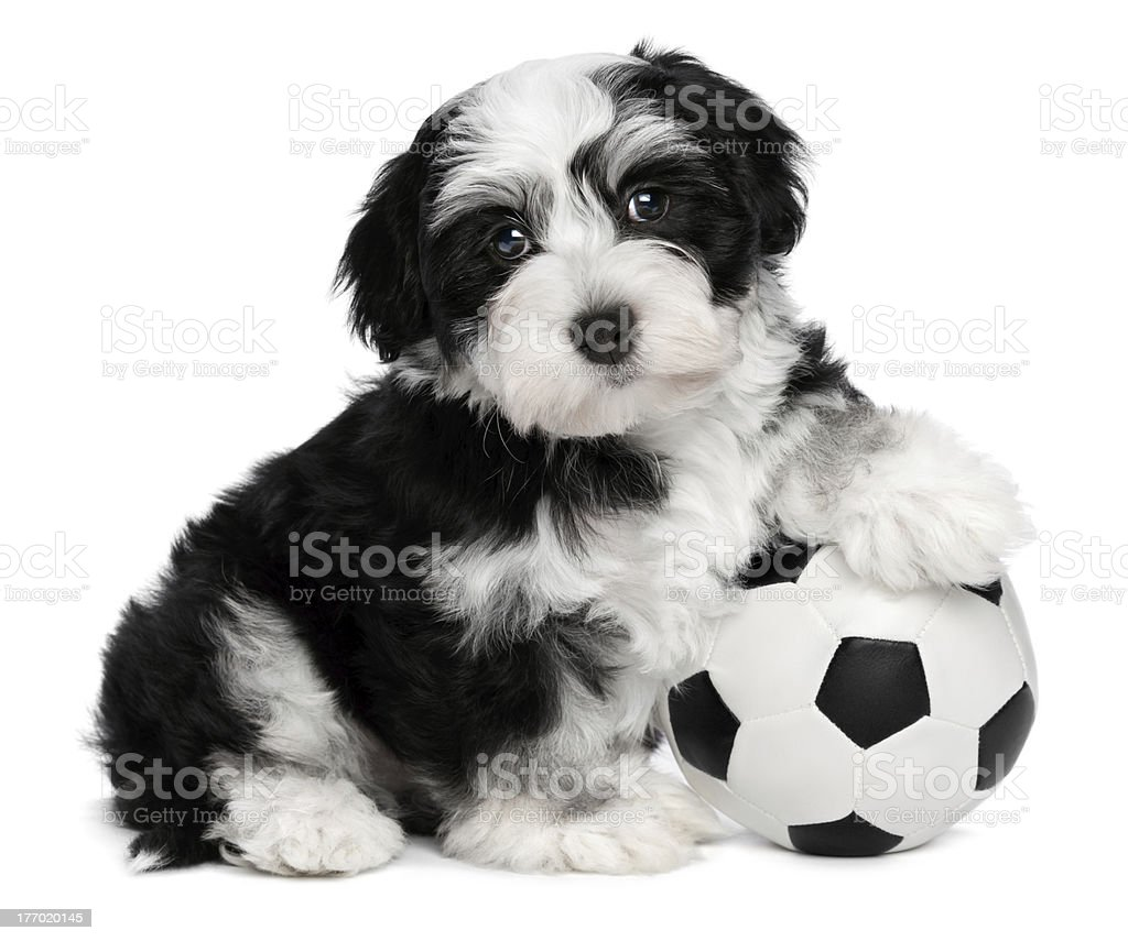 Cute havanese puppy dog with a soccer ball royalty-free stock photo