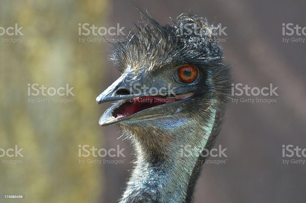 Cute head of Emu royalty-free stock photo