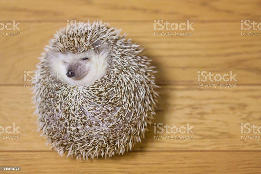 Cute hedgehog in my room stock photo