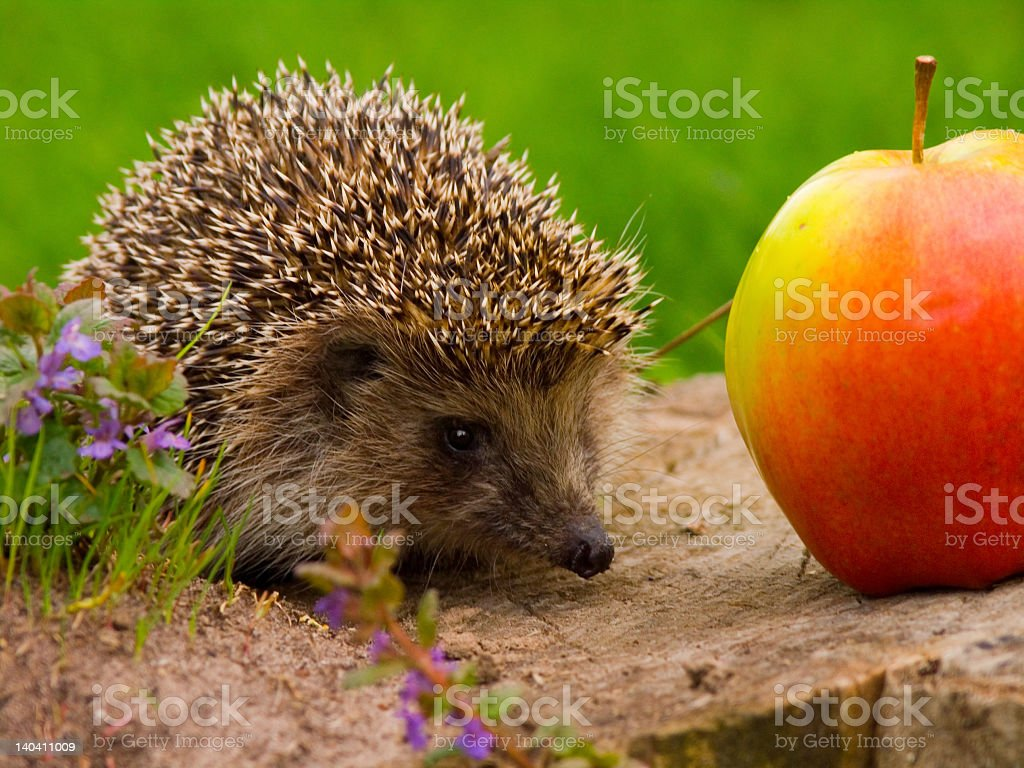 A cute hedgehog next to a apple outside royalty-free stock photo