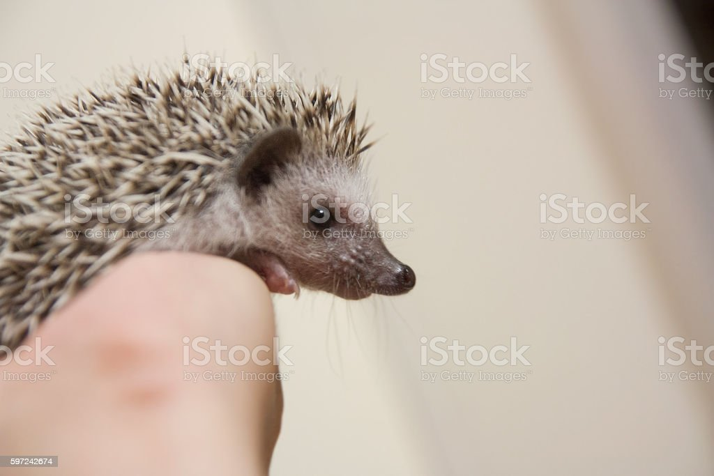 Cute hedgehog on the hand stock photo