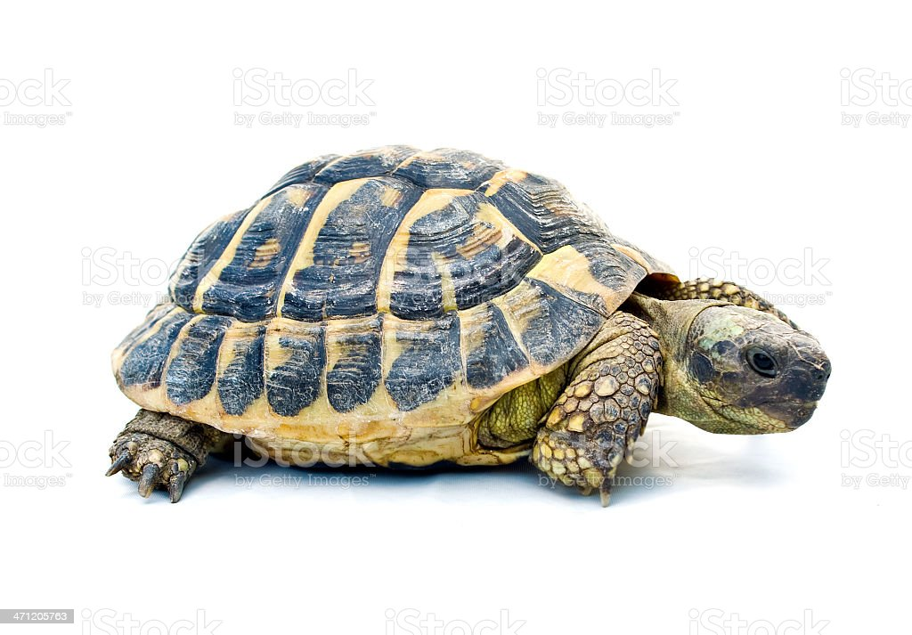 Cute Hermans Tortoise on a white background stock photo