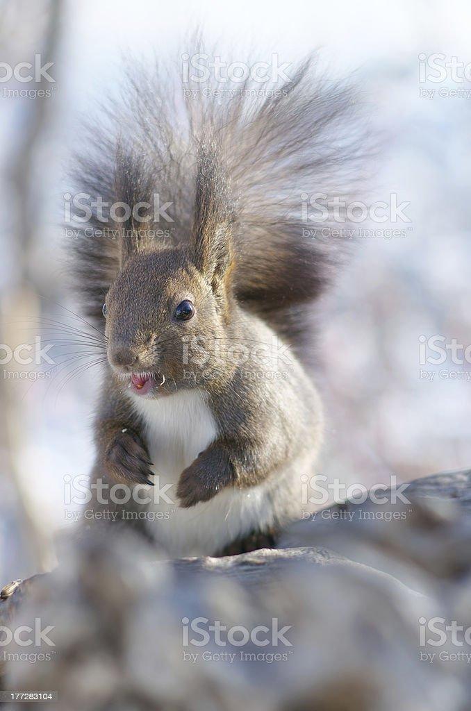 Cute Hokkaido Squirrel royalty-free stock photo